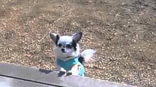 チワワの愛犬ひなちゃん ジャンプして上に登る場所を決めてます。可愛い...