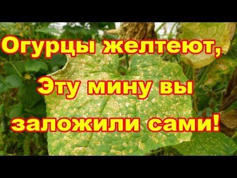 Пожелтели листья огурцов,принимать меры надо было давно,но не все еще потеряно!