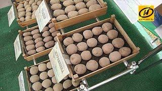 Отечественные селекционеры представили новые сорта картофеля(, 2017-06-08T09:02:29.000Z)