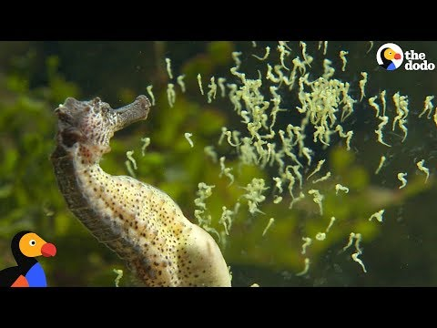 Seahorse Dads Give Birth To Thousands Of Babies | The Dodo
