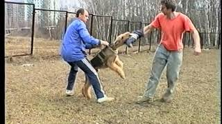Эрдельтерьер Снап, Дрессировка 90 х, кусачка, собака для охраны