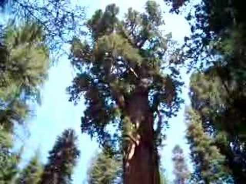 General Sherman Tree