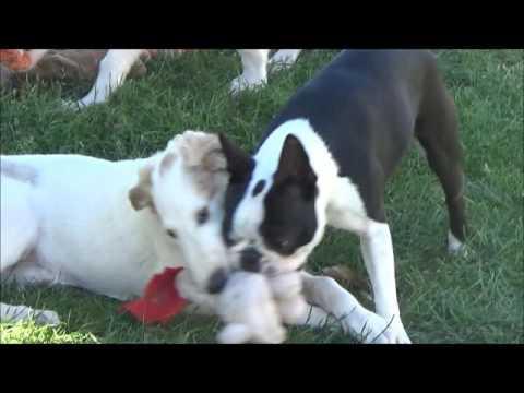 Dog-Dancing mit Wilma und den Barsoiwelpen