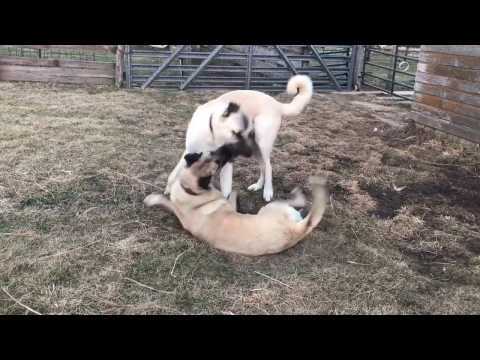 Boz & Anatolian Shepherd Dogs Having Fun