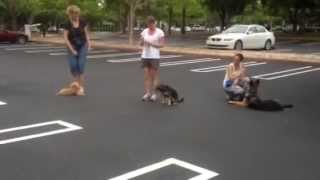 Advanced Obedience Group Class In Miami Florida - Figure Eight Heel Pattern Training