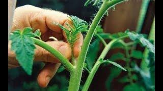 Пасынкование томатов - как его делаю я