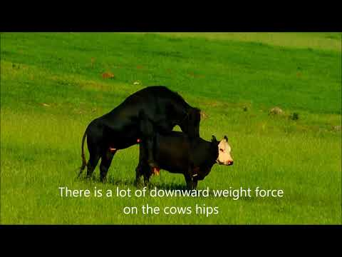 The Behavior Of Bulls And Cows When Breeding Explained.