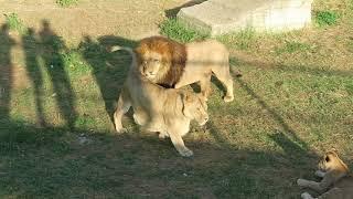 Львиные любовные игры. Сафари парк Тайган.