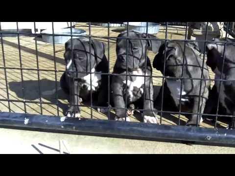 Blue Razors Edge Pitbull Puppies For Sale