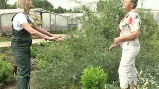 видео Ива извилистая: выращивание и формирование кроны матсуданы и свердловской извилистой