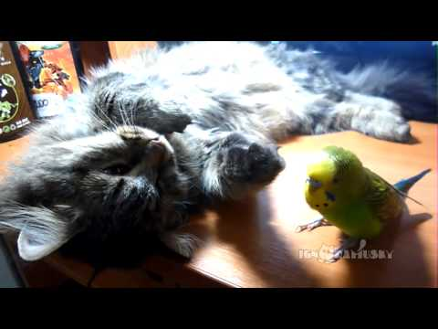 Parakeet Won't Let Cat's Nap Time Interfere With Playtime (VIDEO)