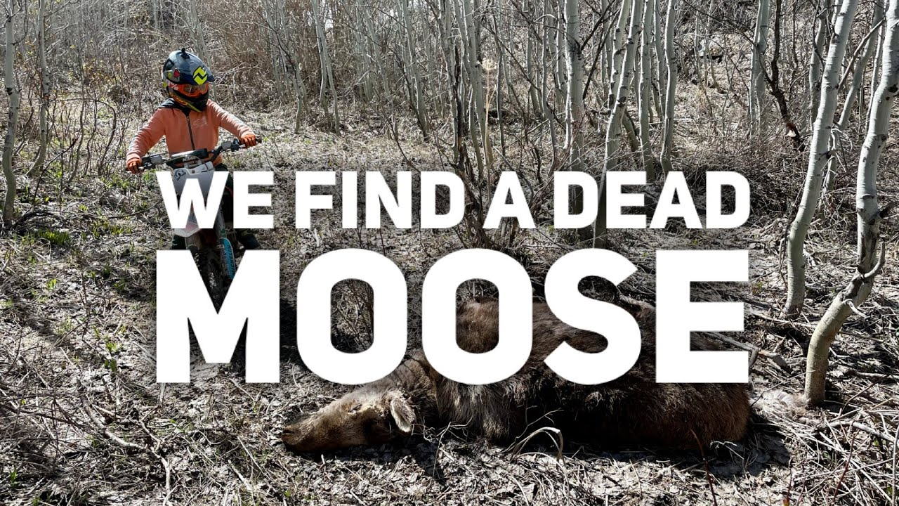 Found Dead Baby Moose [while Dirtbiking]
