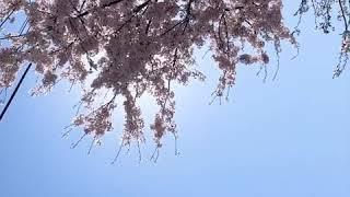 속초 벚꽃은 처음이야@•@