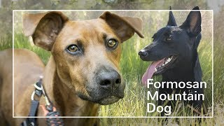 Formosan Mountain Dog.  The Breed that just won't die