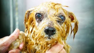 AMAZING! This dog was found inside a garbage container, we had to saved him !