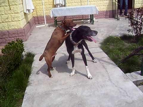 Pitbull vs Great Dane