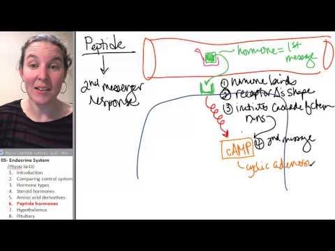 Endocrine 6- Peptide hormones