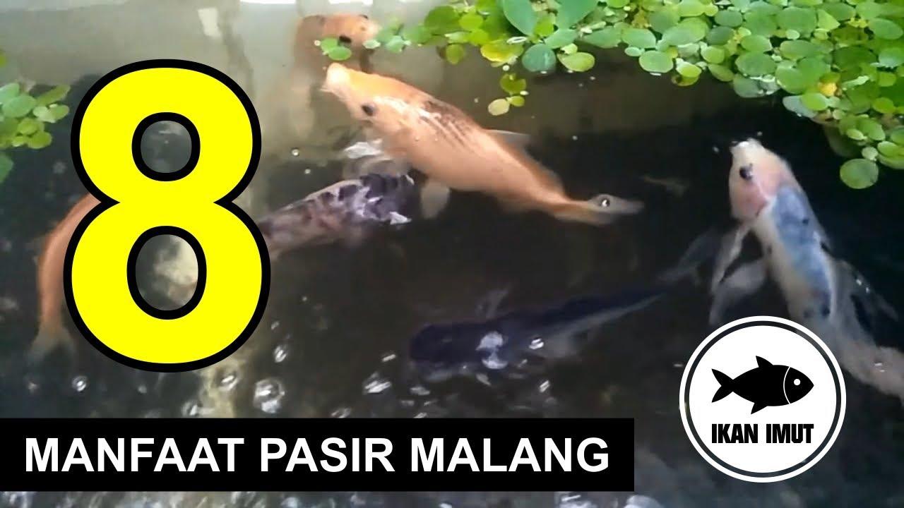8 Manfaat Pasir Malang Untuk Aquarium Ikan Imut Youtube Pasir malang untuk akuarium