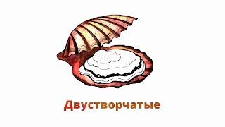 7.2. Двустворчатые моллюски