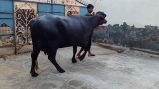 Murrah dairy farm vikas rana 8813916000 bedwa meham haryana