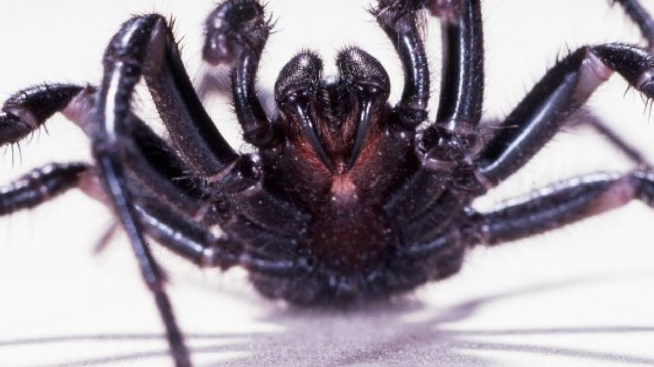 Download This Is The World's Deadliest Spider