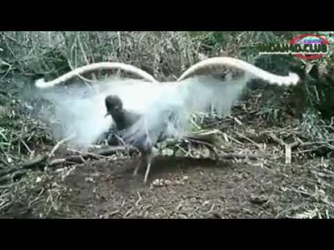 Burung Termahal Di Dunia