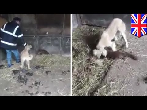 Fox massacred by dogs as farmers laugh, later upload cruel video to Facebook  Tomo