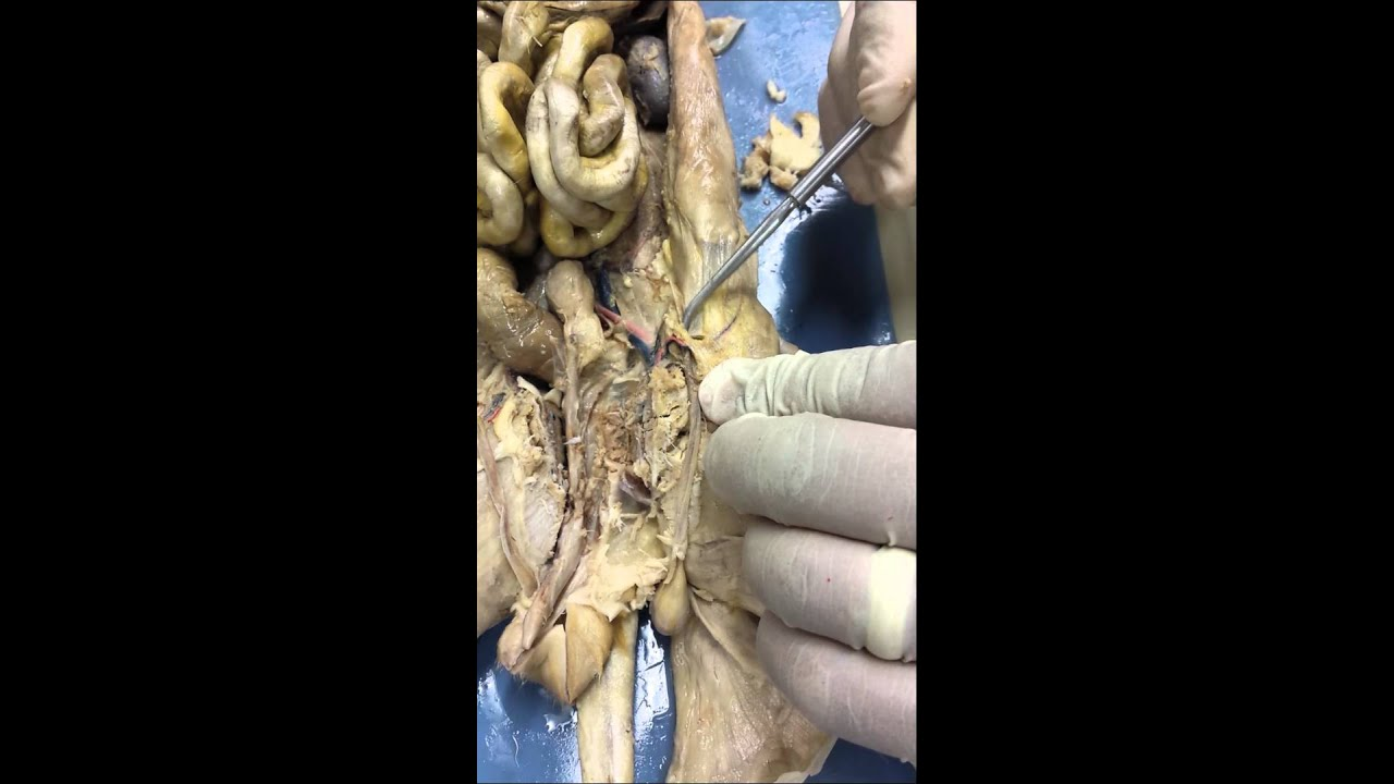 Male Reproductive System Cat Dissection Youtube