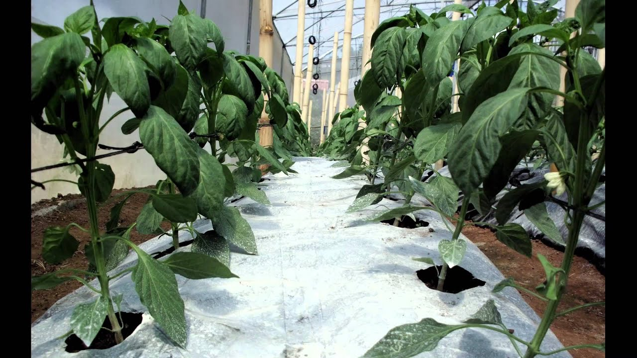 Cultivo Chile Dulce Pimiento Blocky Bell Sweet Pepper