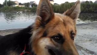 Плавание с немецкой овчаркой - ПОЛЕЗНАЯ ТРЕНИРОВКА! Мокрый нос