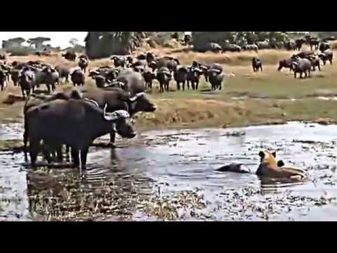 UNFO Documantary Okavango Swamp Cats National gheoghraphic HD 2016