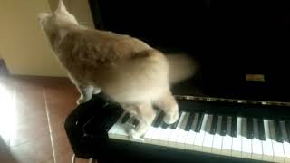 Cat fufy play impromptu to the piano
