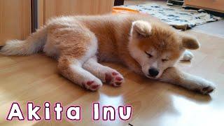 AKITA INU  The Life Of A Japanese Akita Puppy | 秋田犬