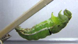 カラスアゲハの蛹化30分ほどを2分ちょいの動画にしてみました。皮が脱げ...
