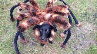 Собака паук! Жесть прикол.