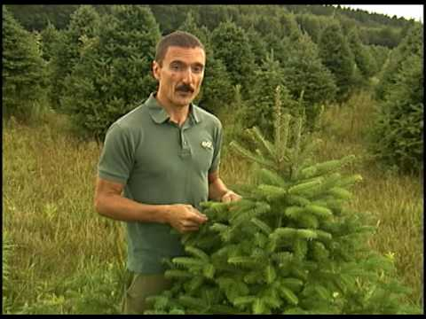 Christmas Tree Fertilization