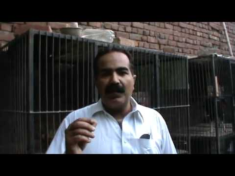 ASEEL HEN & EGG _ care information by usted rana safdar shab.flv