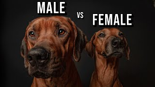Male vs Female Rhodesian Ridgeback: Which One Should You Get?