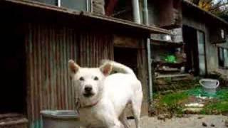 日本古来種である紀州犬(地元では熊野犬と呼ぶらしい)という犬です。...