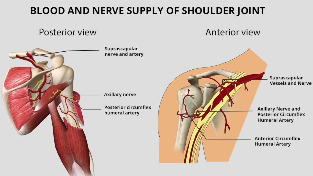 Shoulder Joint Anatomy Youtube