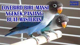 LOVEBIRD BIRU MANGSI NGEKEK PANJANG BUAT MASTERAN