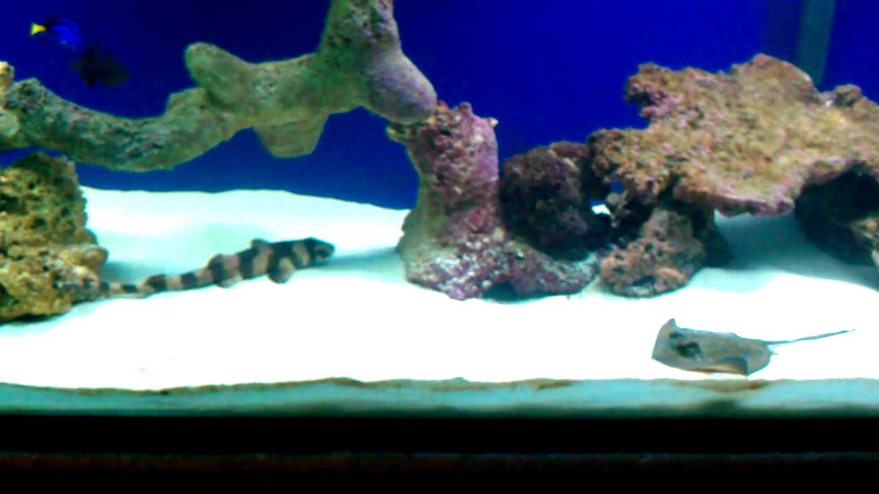 Blue spotted stingray eating and swimming youtube for Stingray fish tank