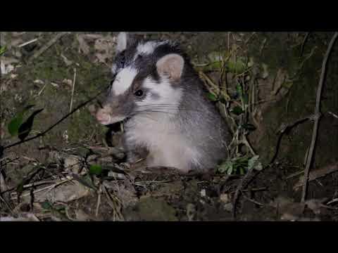 鼬獾 🏠..🐹🔦 Melogale moschata