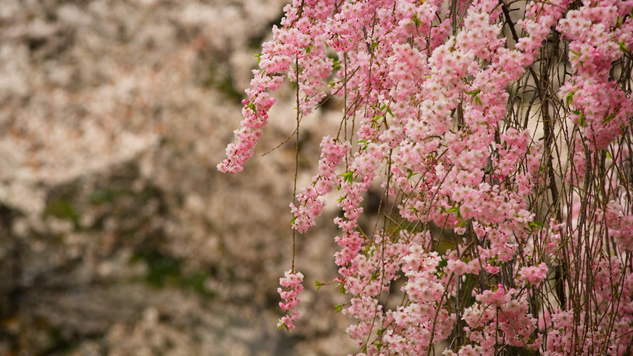 Beautiful Sakura & Shrines in Japan 4K - UltraHD ...