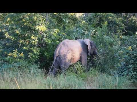 P3295659   Olifant speelt met struik South Luangwa NP