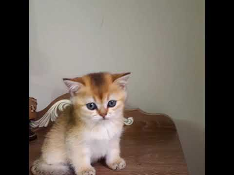 British Shorthair golden erkek yavru
