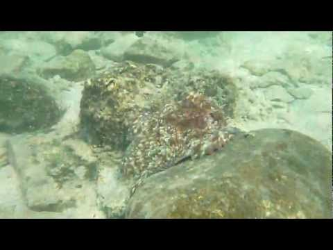 Octopus changing skin shape and color أخطبوط يغير شكل و لون جسمه