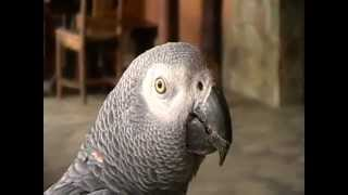 Afrikaans Speaking African Grey Parrot