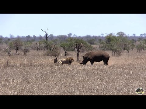 Rhino vs Lion - Who Is The Boss?