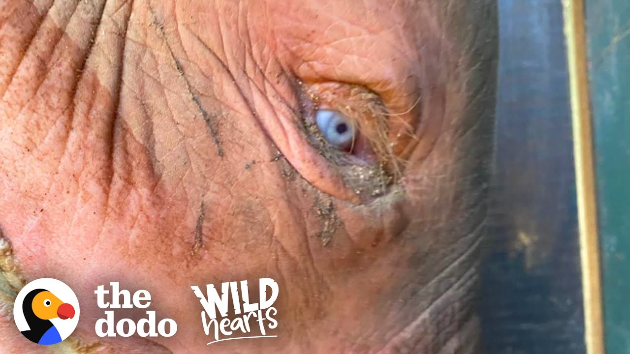 Blue-Eyed Baby Elephant Is So Brave And Sweet | The Dodo Wild Hearts